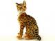 Kočka Ocelot - 3.jpg